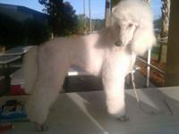 ALREADY UKC CHAMPIONED ,TRAINED, STANDARD POODLE