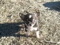 We have a lovable teacup Chihuahua child. He is black,