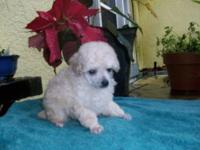 TEACUP BEAUTIFUL LADY CREAM POODLE YOUNG PUPPY.