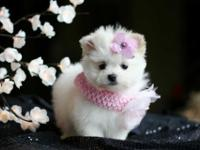 Top quality teacup Pomeranian puppy So high quality