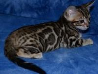 Beautiful bengal kitten comes with a health guarantee