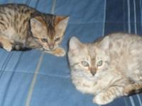 TICA registered Bengal kittens birthed 12/1/13,