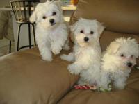 Animal Type: Dogs Breed: Maltese 12 weeks now ready to