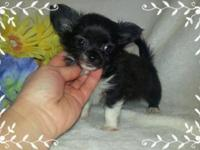 "MOSES- Outstanding small"" teacup dimension"" Chihuahua"