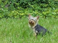 Gorgeous little Yorkie. She is 6.5 months old and only
