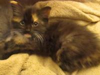 Very pretty long haired tortoiseshell female kitten.