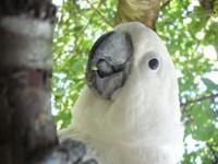 Enjoyable, interactive and playful cockatoo awaits an