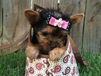 Stunning Yorkie Girl born May 25th, 2014. She has