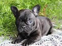 Stunning ZXS French Bulldog Puppies For Sale.....Good