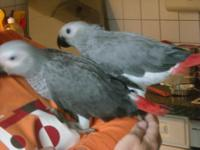 Animal Type: Birds Stunning Congo gray parrots with