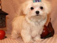 Stunning genuine 100% maltese puppies (male and