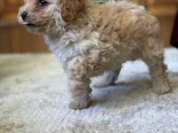 Maltipoo Puppy Puppy is hypoallergenic, and comes with