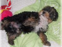 I have several AKC Yorkie puppies from sale. They are