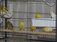 Suburban Acres Canaries, A hobbyist breeder of Canaries