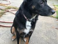 Sue is a German Shepherd mix who is 2 years old.  She