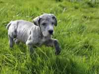 This is Sugar. She is a female Blue Merle and is one of