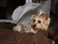Sugar baby female yorkie will be 6 years old in