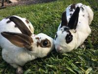 Sugar and Lenox are very sweet, friendly rabbits who