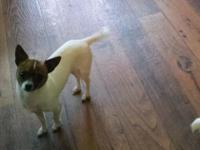 Very sweet little chihuahua. He is CKC registered. He