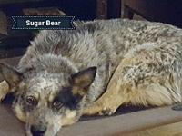 Sugar Bear's story Sugar Bear is a mature female Blue