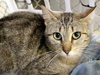Sugar's story Sugar is a female tabby cat with an