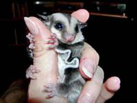 Have 2 young male sugar gliders looking for a new