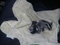 Adorable sugar glider babies, sweet and playful ready