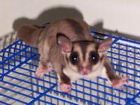 We're looking to adopt a pet sugarglider for our