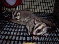 Sugar Glider - Cutie & Matt - Small - Adult - Male