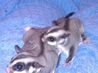 I have a sweet little male and female sugar glider