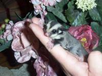 I have for sale several Sugar Glider joeys. All Joey's
