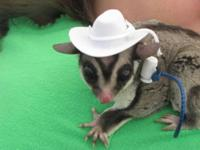 Sugar gliders are small (4-6 ounces!) & are marsupials,