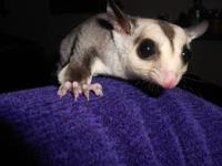 Sugar gliders available. Located out of state but