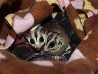 i have a pair (male and female) sugar gliders who i am