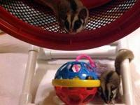 Sugar Glider - Pumpkin/foster & Button/foster - Small -