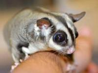 Sugar Glider - Sugar X 4 - Small - Adult - Male - Small