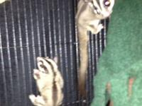 I have 2 female sugar gliders for sale. They come with