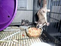 5 young sugar gliders. great for the holidays coming