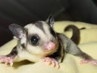 I have males and females sugar glider . Approximately