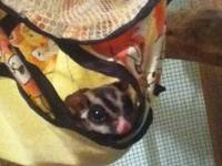 I have 2 sugar gliders that I need to rehome. One male