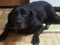 Sugar is a sweet senior, purebred Labrador Retriever.