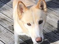 My story Suki is a 2 year old Siberian Husky mix (46