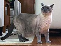 Suki's story Description: Suki is a Lilac point Siamese