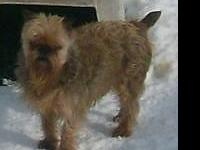 Sully is a belge rough coat,Brussels Griffon boy, who