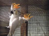 Beautiful,funny and affectionate cockatoo. Loves to be