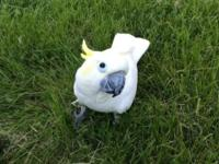 Victoria is a sulphur crested cockatoo. She love's to