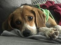 My story Summer is sweet but shy little beagle who's
