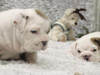 Summer English Bulldog Puppies Up to date on