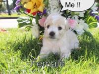 SUMMER MALTIPOO PUPPIES These puppies are a mix between