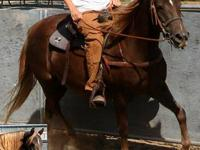 Registered Morgan mare for sale. This mare sells with a